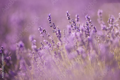 beautiful lavender field at sunset #208581971