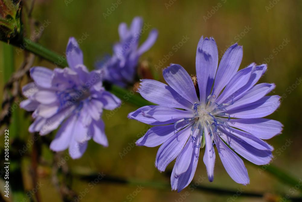 Fototapeta Fioletowy kwiat polny - cykoria podróżnik (Cichorium intybus) - obraz na płótnie
