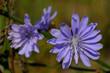 Fioletowy kwiat polny - cykoria podróżnik (Cichorium intybus)