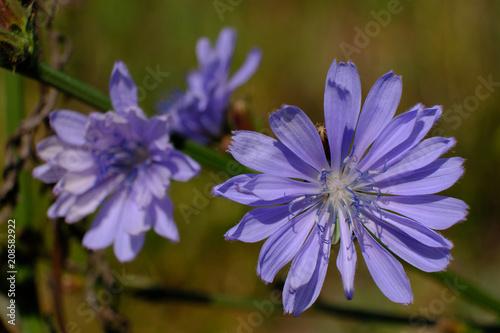 Fototapeta Fioletowy kwiat polny - cykoria podróżnik (Cichorium intybus) obraz na płótnie