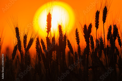 Poster Oranje eclat Bearded wheat silhouetted against sunset