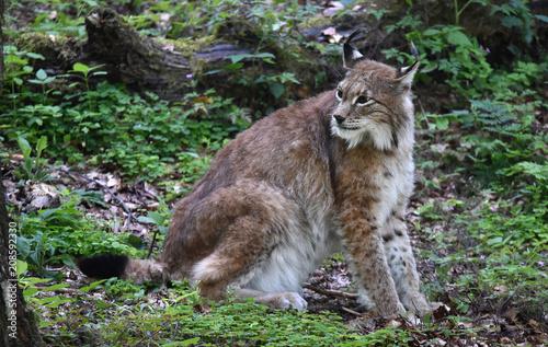 Foto op Plexiglas Lynx Luchs im Harz
