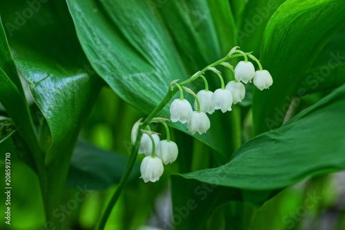 Poster Muguet de mai white lily of the valley flowers on the stalk among the green leaves
