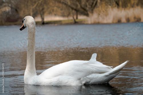 Foto op Plexiglas Zwaan Lone swan swimming away from camera