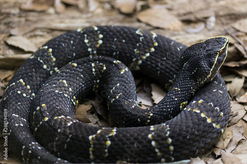 Mexican moccasin or Cantil. Agkistrodon bilineatus is a venomous pit viper species found in Mexico and Central America as far south as Costa Rica.