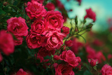 Blooming Roses And Buds On A B...