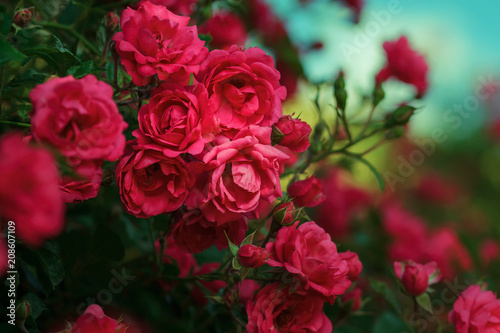 Photographie Blooming roses and buds on a bush in the garden