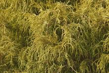 Gold Dwarf Threadleaf False Cypress (Chamaecyparis Pisifera Filifera Aurea Nana)