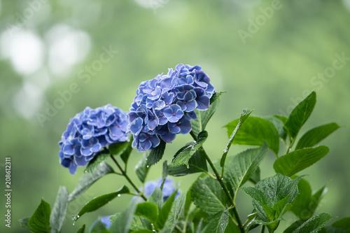 Fotobehang Hydrangea hydrangea in the rain
