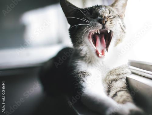 Keuken foto achterwand Kat Yawning cat