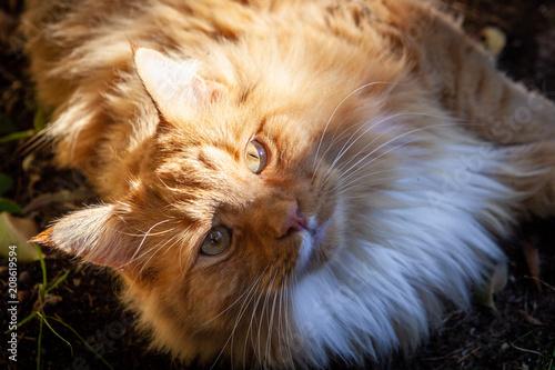 Keuken foto achterwand Kat Ginger cat staring intensely into the camera