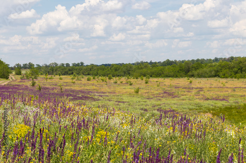 Deurstickers Weide, Moeras Meadow with wild purple salvia flowers. Summer landscape