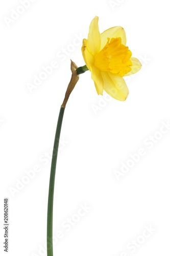 Deurstickers Narcis Daffodil on white