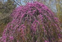Lavender Twist Weeping Redbud (Cercis Canadensis Lavender Twist).