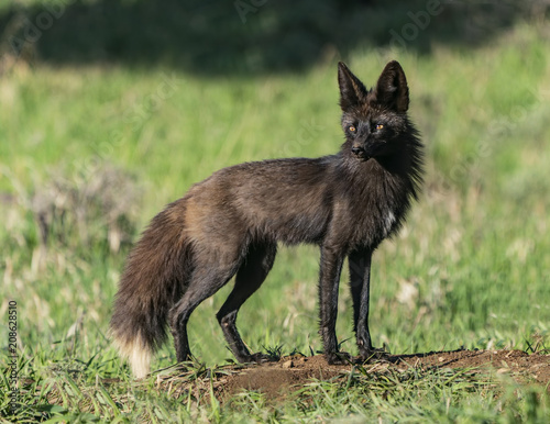 Vexed Vixen - A beautiful black red fox vixen (vulpes vulpes) with eyes glowing,  guards with tension and nervousness, always on high alert Canvas-taulu