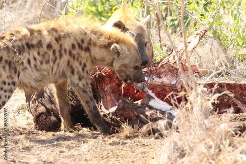 Foto op Plexiglas Hyena Hyenas eating a buffalo
