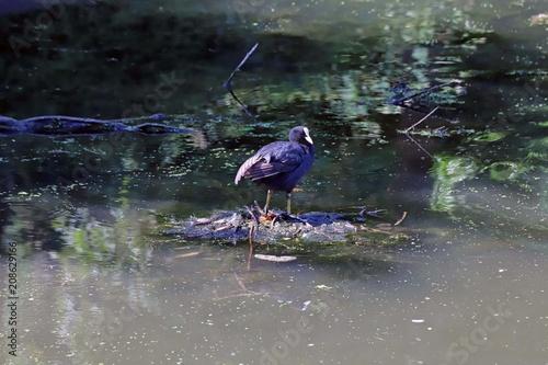 Fotobehang Zeemeermin Oiseau aquatique, la Foulque Macroule