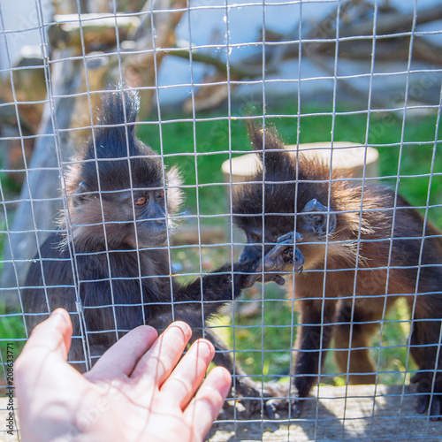 crested mangabey monkey in zoo. life in custody Poster