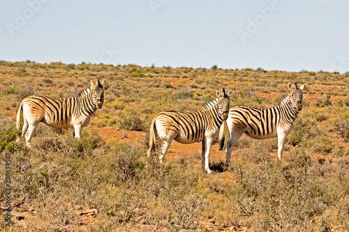 Staande foto Afrika Three Burchell's Zebra in afternoon