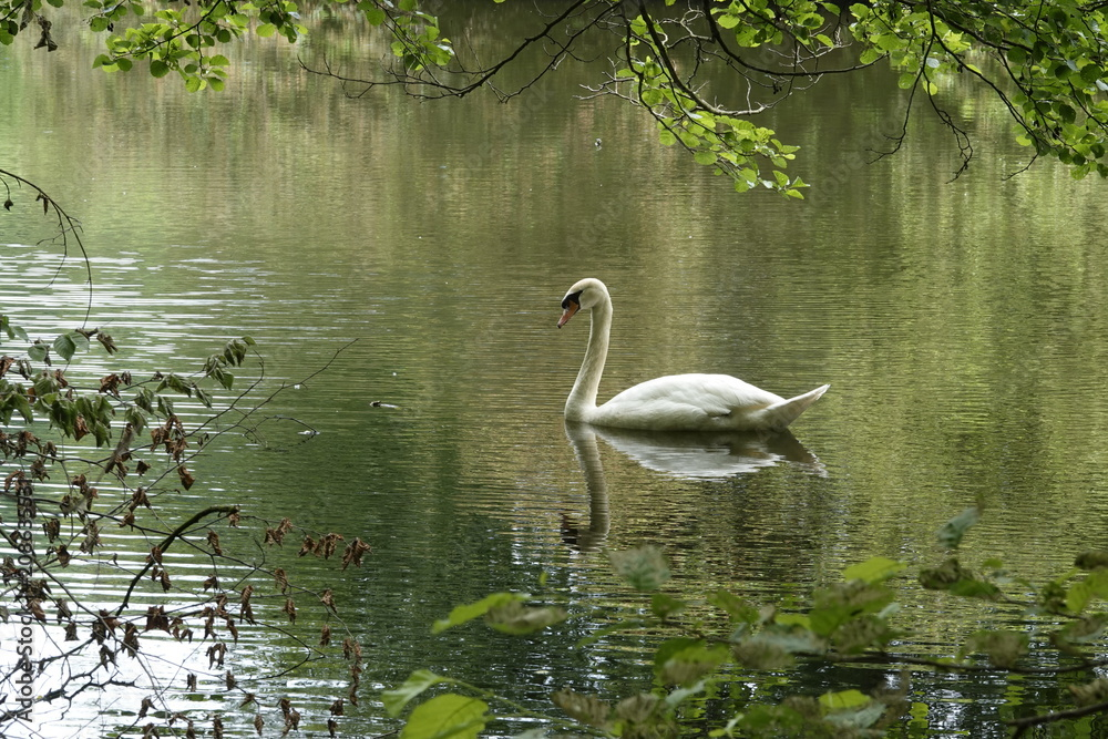A swan on a lake in Belgium, June 2018.