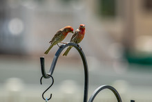 Two Male House Finches Perched...