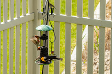 A Yellow-headed Blackbird And House Finches Feed At A Backyard Bird Feeder