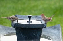 A Female House Finch Drinks Wh...