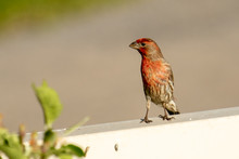 A Male House Or Purple Finch S...