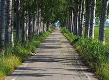 Inside A Long, Narrow And Straight Tree-lined Avenue In Countryside , On A Midsummer Day