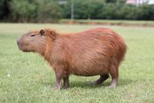 A Capybara Eats Some Grass In ...