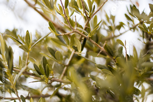 Tuinposter Olijfboom View through the leaves of an olive tree