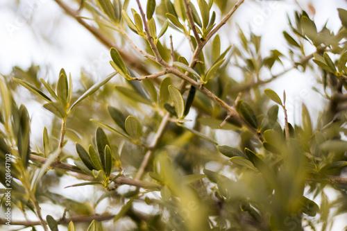 Foto op Plexiglas Olijfboom View through the leaves of an olive tree