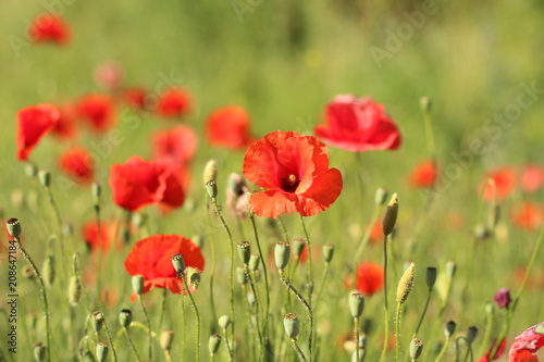 Foto op Plexiglas Panoramafoto s poppies. the blossoming red flowers in the field. Background flora