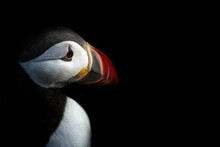 Puffin (Fratercula Arctica) Closeup Seen In Runde Island In Norway, Low Key Portrait Of Beautiful Bird, Plenty Of Space Left For Copy, Bird On Black Background, Cute Bird, Lovely, Beautiful, Red Beak