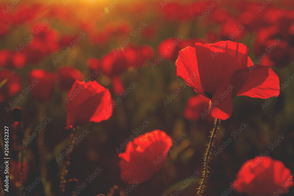 REd poppies in the countryside