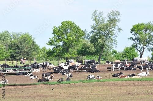 Fotografie, Obraz  Dairy Cattle Herd