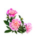 Pink peonies with buds on a white background with space for text. Top view, flat lay.