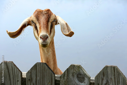 Cute goat hops up on a picket fence begging for feed at a petting zoo.