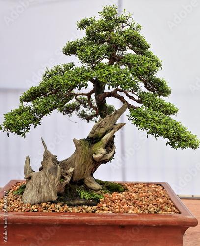 Bonsai bantigue tree-Pemphis acidula. Dumaguete-Philippines. 0514