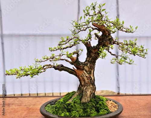 Bonsai enermie tree. Quezon park-Dumaguete-Philippines. 0515