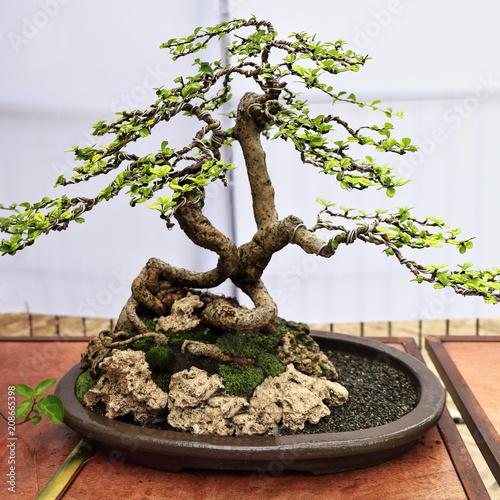 Bonsai fukien tea tree-Ehrethia microfphylla or Carmona retusa. Quezon park-Dumaguete-Philippines. 0516