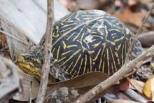 Ornate Box Turtle (Terrapene O...