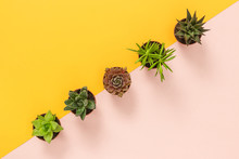 Succulent Plants On Yellow And...