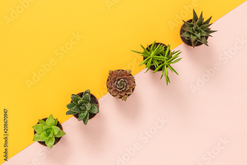 Succulent plants on yellow and pink background