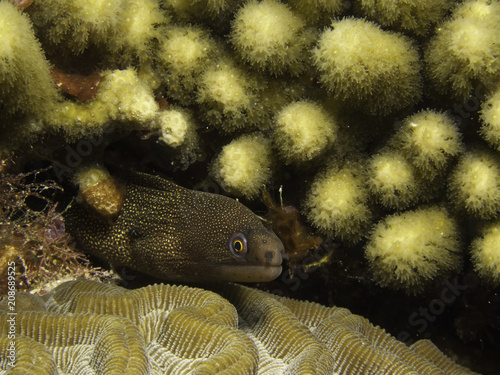 Fotografie, Obraz  moreia banana - Goldentail moray