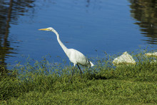 Great Egret Walking By The Edge Of The Pond