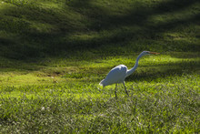 Great Egret Walking In Tall Grass By A Pond