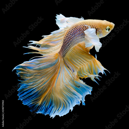 gold Siamese fighting fish movement isolated on black background Wall mural