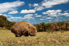 Vombatus Ursinus - Common Wombat