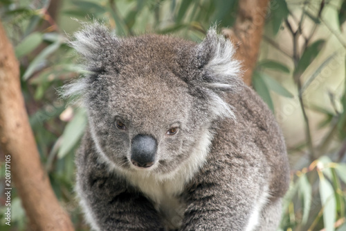 Keuken foto achterwand Koala an Australian koala